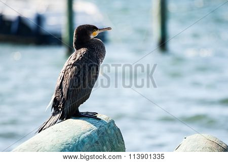 Great Cormorant Sitting on Log