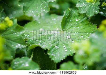 Green Leaves with Water Drops Macro