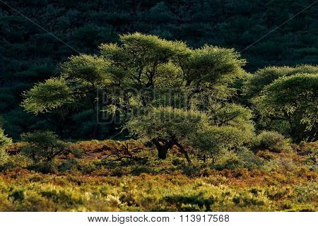 Landscape with Acacia trees in late afternoon light, Mokala National Park, South Africa