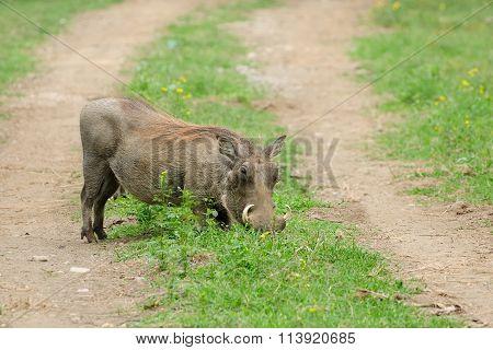 Wild Warthog, Africa