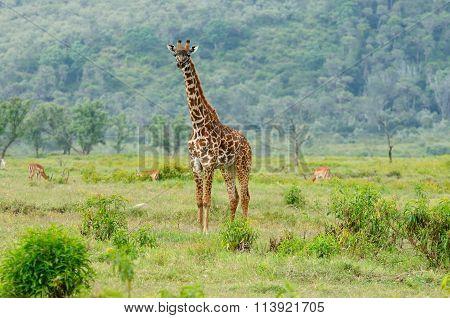 Wildlife Giraffe In Africa