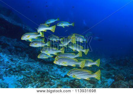 Fish school (Oriental Sweetlips) on coral reef