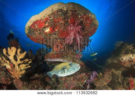 Pufferfish puffer fish and trumpetfish coral reef underwater sea ocean