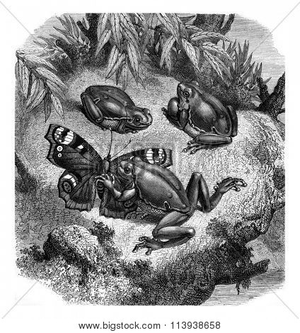 The green tree frog, vintage engraved illustration. Magasin Pittoresque 1880.
