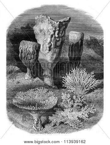 Polyps of the Malacca Strait, vintage engraved illustration. Magasin Pittoresque 1878.