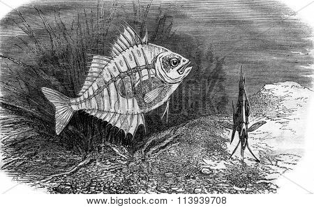 Parambassis ranga or transparent fish, vintage engraved illustration. Magasin Pittoresque 1876.