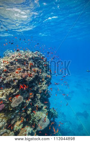 Coral reef and tropical fish in Red Sea
