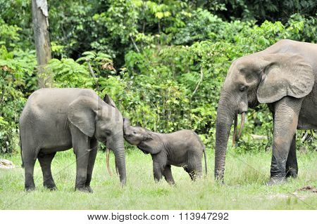 The Elephant Calf  With  Elephant Cow The African Forest Elephant, Loxodonta Africana Cyclotis. At T