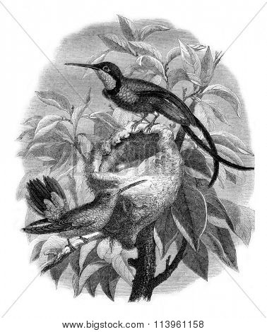 The topaz hummingbird and its nest, vintage engraved illustration. Magasin Pittoresque 1870.