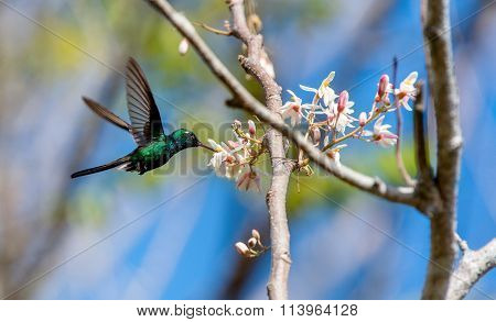Flying Cuban Emerald Hummingbird (chlorostilbon Ricordii),
