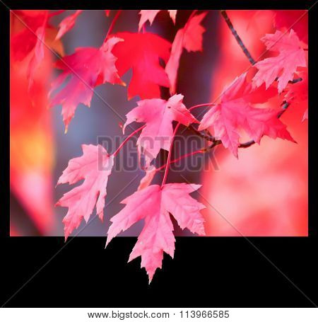 Red maple leaves in black frame.