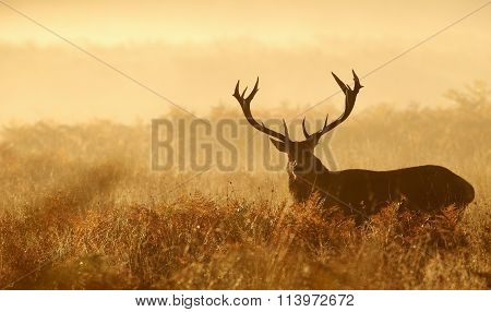 The silhouette of a large red deer stag walking in the morning mist one autumn day looking at the camera poster