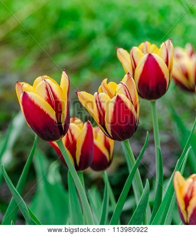 close view of colorful tulip flowers