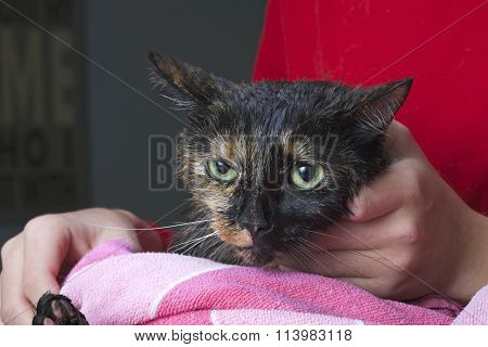 Torbie Tourteshell cat being towel dried after a flea bath