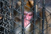 Sad monkey sitting in prison in zoo looking down poster