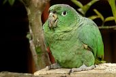 the amazonian rain forest parrot. south america poster