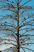 Group of pigeons perching on a tree without leaves poster