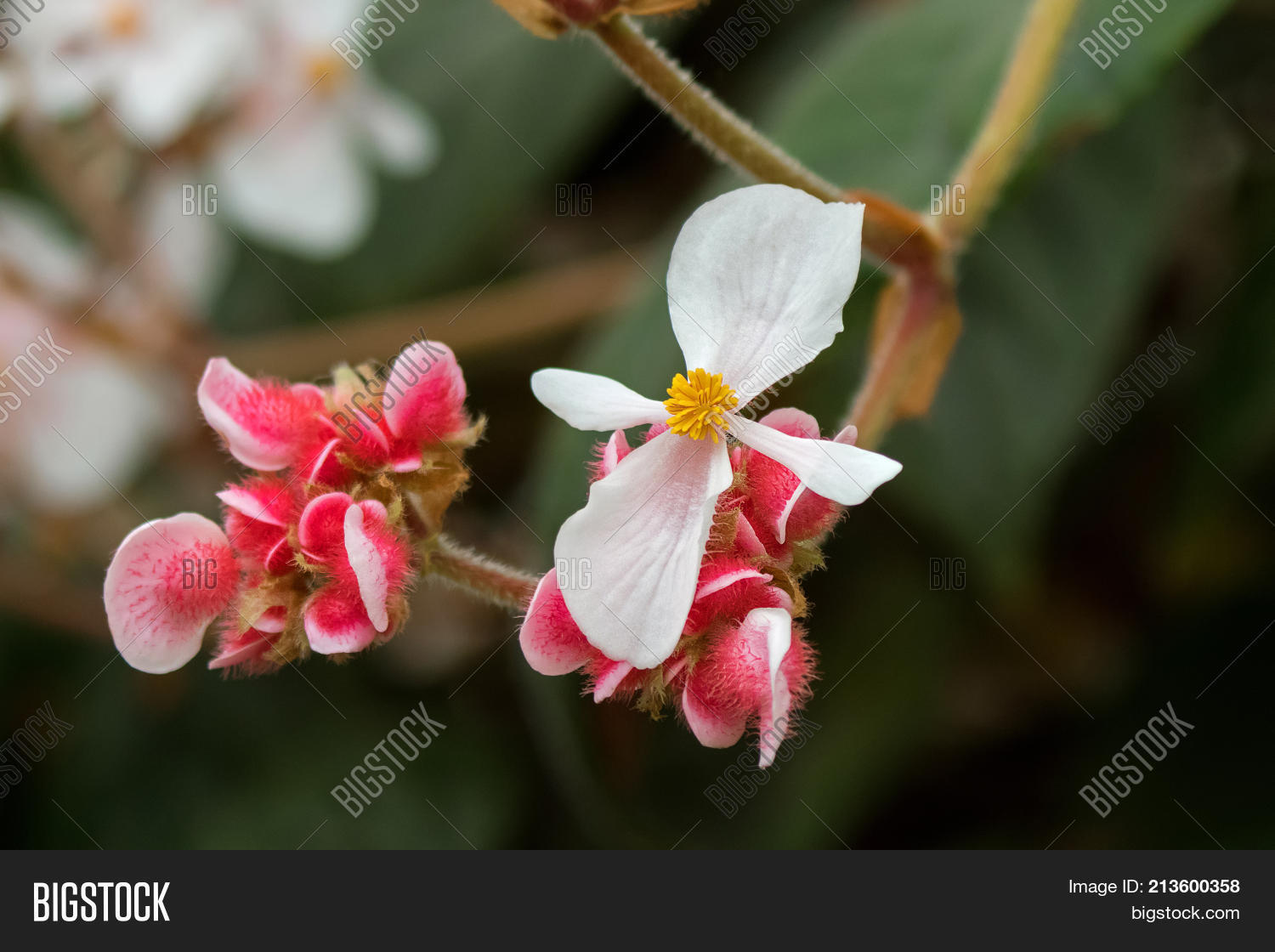 Closeup Begonia White Image Photo Free Trial Bigstock
