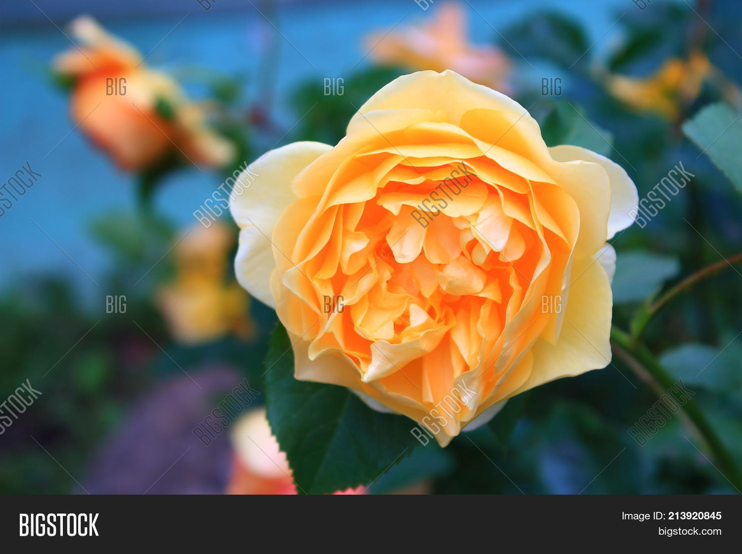 Beautiful Big Orange Rose On Blue Background Large The Bushes