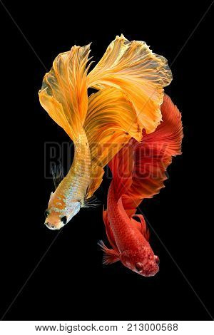 Close up art movement of Betta fishSiamese fighting fish isolated on black background.Fine art design concept.
