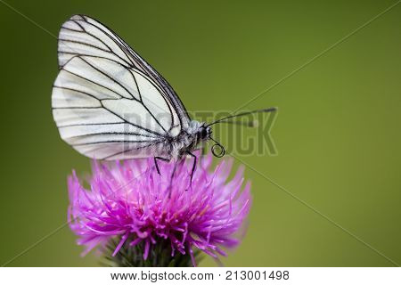 Side View Macro Black-veined White Butterfly (aporia Crataegi) Thistle Flower
