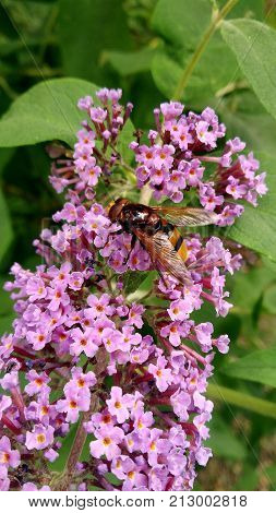 a butine insect on flowers in my garden