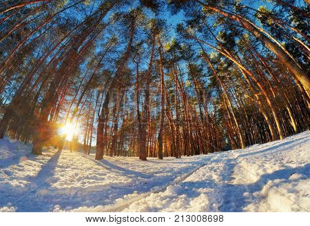 Winter Landscape With High Pine Trees With Bright Sun And Snow.