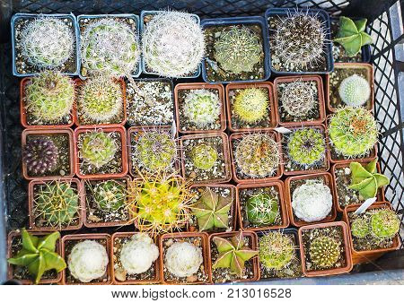 Variety of cactus and succulents in pots for sale top view