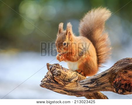 Red squirrel feeding in Winter, County of Northumberland, England