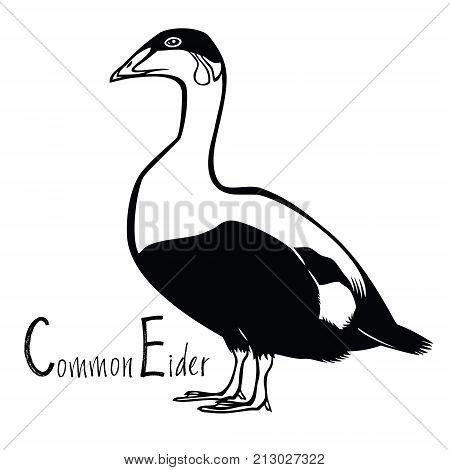 Birds collection Common Eider Black and white vector set
