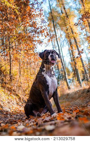 Brown dog boxer in colorful autumn leaves.