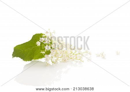 Elderberry flower blossoms isolated on white background with reflection. Natural remedy.