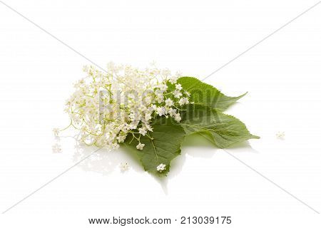 Elderberry flower (Sambucus nigra) isolated on a white background. Medicinal plant. Natural remedy.