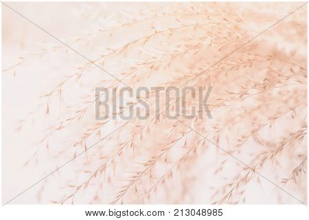 Close-up image of ornamental soft beige Feather Grass similar to Stipa, Needle Grass, Nassella tenuissima. Concept mildness, gentleness