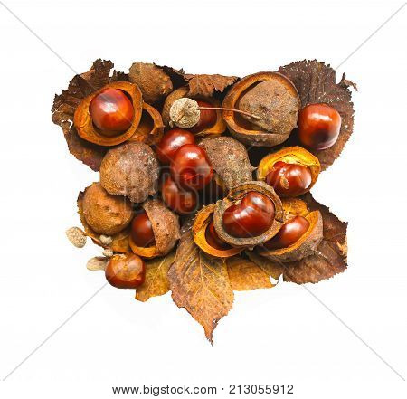 Horse-chestnuts with dry brown leaves isolated in white background. Aesculus hippocastanum fruits.