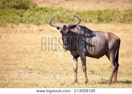 Antelope is standing in the savannah of Kenya Gnu