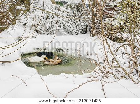 Ducks swimming on a small pond in deep winter. Thick snow all around and in the pond as slush.