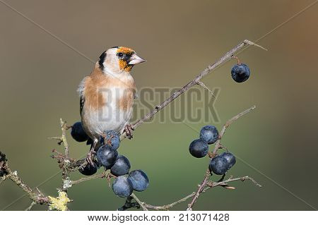 A detailed portrait of a young juvenile goldfinch perched on a blackthorn branch with sloe berries and looking to the right