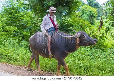 SHAN STATE MYANMAR - SEP 06: Burmese farmer riding buffalo in Shan state Myanmar on September 06 2017 agriculture is the main industry in Myanmar