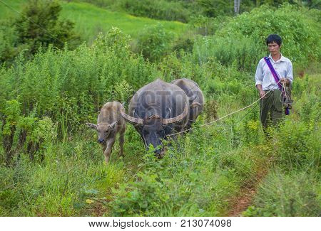 SHAN STATE MYANMAR - SEP 06: Burmese shepherd in a pasture with a buffalos in Shan state Myanmar on September 06 2017 agriculture is the main industry in Myanmar