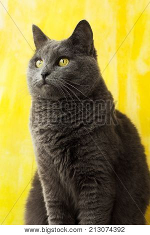 The chartreux cat. Beautiful blue cat with yellow eyes.