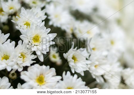 Selective focus close up white chrysanthemum flowers inn bouquet. Chrysanthemums were first cultivated in China as a flowering herb. Chrysanthemum Seal is official imperial seal of Japan.