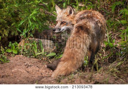 Red Fox (Vulpes vulpes) Vixen Turned - captive animals