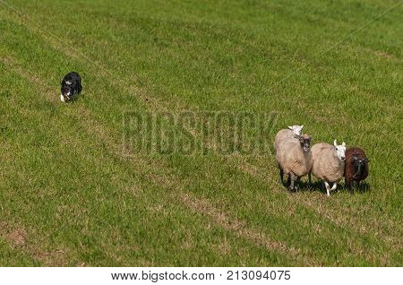 Stock Dog Herds In Group of Sheep (Ovis aries) - at sheep dog herding trials