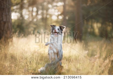 Dog Border Collie In The Grass