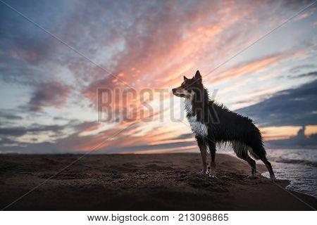 Dog border collie on a sandy beach near the water