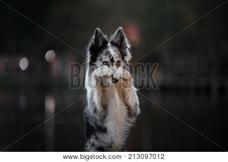 Very cute dog border collie posing on the nature