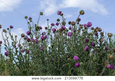The Flower Head Thistle Milk Thistle In Full Splendor. Medicinal Plant In The Natural Environment.