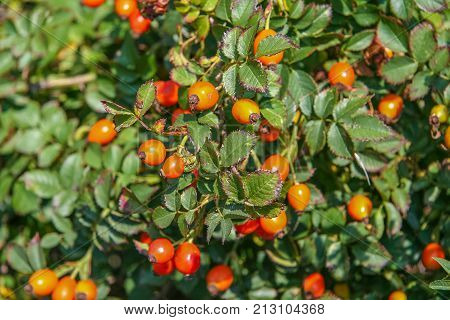 Rosehip (Lat. Rosa) - genus of plants of the Rosaceae family of order Rosaceae. This family was named and the family and the order to which it refers. It has many cultural forms bred under the name Rose. poster