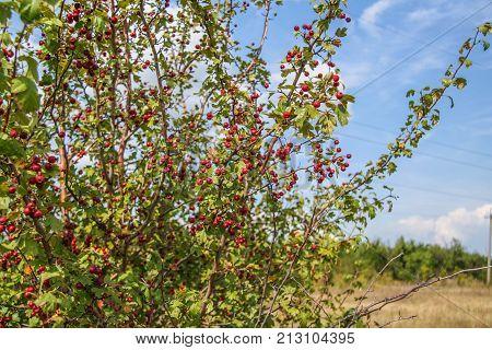 Rosehip (lat. Rosa) - Genus Of Plants